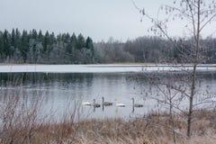 Paysage de calme d'hiver sur une rivière avec cygnes blancs La Finlande, rivière Kymijoki images stock