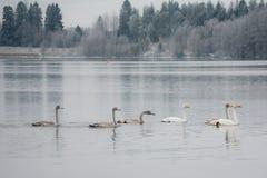 Paysage de calme d'hiver sur une rivière avec cygnes blancs La Finlande, rivière Kymijoki photographie stock