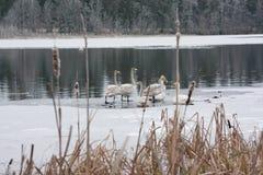 Paysage de calme d'hiver sur une rivière avec cygnes blancs sur la glace La Finlande, rivière Kymijoki photos stock