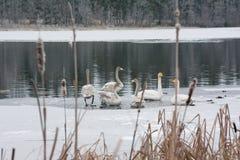 Paysage de calme d'hiver sur une rivière avec cygnes blancs sur la glace La Finlande, rivière Kymijoki images stock