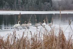 Paysage de calme d'hiver sur une rivière avec cygnes blancs sur la glace La Finlande, rivière Kymijoki photos libres de droits