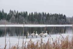 Paysage de calme d'hiver sur une rivière avec cygnes blancs sur la glace La Finlande, rivière Kymijoki photo libre de droits