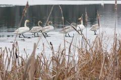 Paysage de calme d'hiver sur une rivière avec cygnes blancs sur la glace La Finlande, rivière Kymijoki images libres de droits