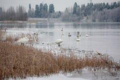 Paysage de calme d'hiver sur une rivière avec cygnes blancs sur la glace La Finlande, rivière Kymijoki photographie stock