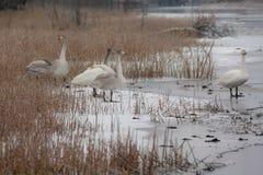 Paysage de calme d'hiver sur une rivière avec cygnes blancs sur la glace La Finlande, rivière Kymijoki photographie stock libre de droits