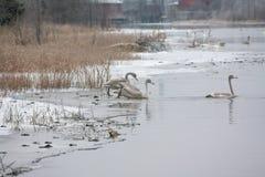 Paysage de calme d'hiver sur une rivière avec cygnes blancs sur la glace La Finlande, rivière Kymijoki photo stock