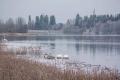 Paysage de calme d'hiver sur une rivière avec les cygnes blancs dormant sur la glace La Finlande, rivière Kymijoki images stock