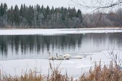 Paysage de calme d'hiver sur une rivière avec les cygnes blancs dormant sur la glace La Finlande, rivière Kymijoki photo stock