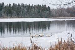 Paysage de calme d'hiver sur une rivière avec les cygnes blancs dormant sur la glace La Finlande, rivière Kymijoki photos libres de droits