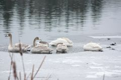 Paysage de calme d'hiver sur une rivière avec les cygnes blancs dormant sur la glace La Finlande, rivière Kymijoki images libres de droits