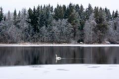 Paysage de calme d'hiver sur une rivière avec un cygne blanc La Finlande, rivière Kymijoki photographie stock