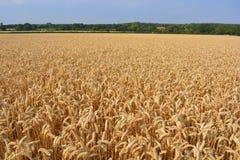 Paysage de champ de blé au temps de récolte image stock