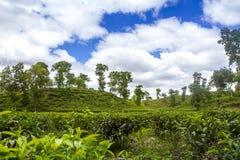 Paysage de champ de station de vacances de thé dans Moulovibazar, Bangladesh Photos stock