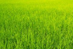 Paysage de ciel bleu d'herbe verte de gisement de riz Image libre de droits