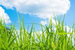 Paysage de ciel bleu d'herbe verte de gisement de riz Images stock