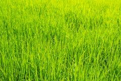Paysage de ciel bleu d'herbe verte de gisement de riz Photo libre de droits