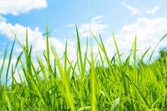 Paysage de ciel bleu d'herbe verte de gisement de riz Photographie stock