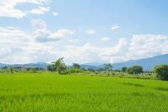Paysage de ciel bleu d'herbe verte de gisement de riz Images libres de droits