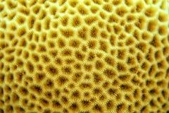 Paysage de corail de cerveau Image libre de droits