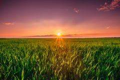 Paysage de Dawn Sunrise Sky Above Rural de coucher du soleil de champ de blé vert photographie stock