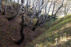 Paysage de faune Arbres de bouleau tordus en petit ravin images libres de droits