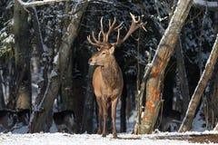 Paysage de faune d'hiver avec de grands cerfs communs rouges et x28 ; Elaphus& x29 de Cervus ; Image stock