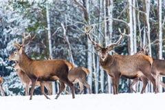 Paysage de faune d'hiver avec le Cervus noble Elaphus de cerfs communs Beaucoup de cerfs communs en hiver Cerfs communs avec de g Photographie stock