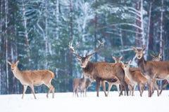 Paysage de faune d'hiver avec le Cervus noble Elaphus de cerfs communs Beaucoup de cerfs communs en hiver Cerfs communs avec de g Photos libres de droits