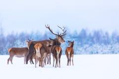 Paysage de faune d'hiver avec le Cervus noble Elaphus de cerfs communs Beaucoup de cerfs communs en hiver Cerfs communs avec de g Photo stock