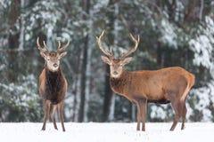 Paysage de faune d'hiver Cervus noble Elaphus de cerfs communs Deux cerfs communs dans des cerfs communs de forêt d'hiver avec de Photo stock