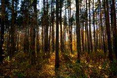 Paysage de forêt avec la lumière de coucher du soleil par des arbres photos stock