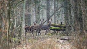 Paysage de forêt avec plusieurs jeunes cerfs communs bruns dans le bosquet de la forêt de ressort Images libres de droits