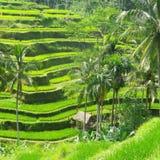 Paysage de gisement de riz Photo libre de droits