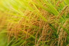 Paysage de gisement de riz au coucher du soleil, préfecture de Nagano, Japon Image stock
