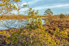 Paysage de grand marais de Kemeri avec la végétation pauvre de bruyère à l'hiver photographie stock