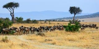 Paysage de l'Afrique avec le gnou d'antilopes Photo stock