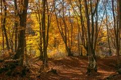 Paysage de l'Ombrie : arbres de propagation d'automne avec les feuilles d'automne tombées Photographie stock