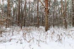 Paysage de la forêt de pin d'hiver couverte de gel principalement aux clo Photo stock