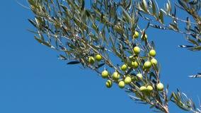 Paysage de la Grèce - Grèce Olive Tree banque de vidéos