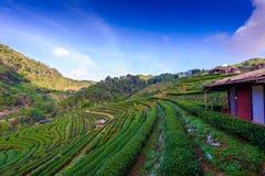 Paysage de la plantation de thé 2000 chez Doi Ang Khang Image libre de droits