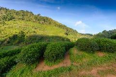 Paysage de la plantation de thé 2000 chez Doi Ang Khang Photographie stock libre de droits