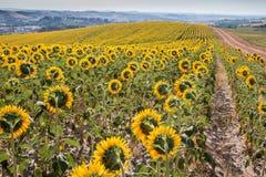 Paysage de la Toscane avec le tournesol Images libres de droits