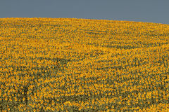 Paysage de la Toscane avec le tournesol Images stock