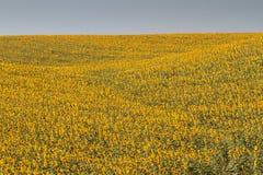 Paysage de la Toscane avec le tournesol Image stock