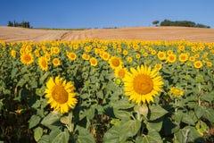Paysage de la Toscane avec le tournesol Image libre de droits