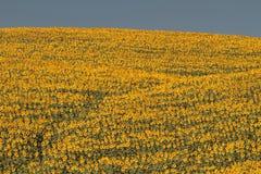 Paysage de la Toscane avec le tournesol Photos libres de droits