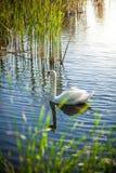 Paysage de lac avec le cygne blanc Photo stock