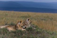 Paysage de lion images libres de droits