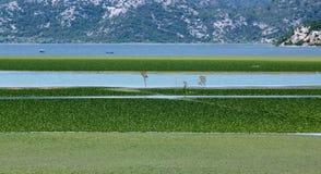 Paysage de marais de Skadarsko Jezero Image libre de droits