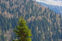 Paysage de montagne avec la forêt colorée et les crêtes couronnées de neige élevées jour étonnant de montagnes de Caucase du beau Photos stock